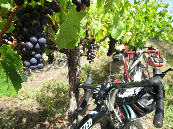 Grape vines and road bikes amongst the vineyards